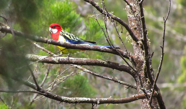 Eastern Rosella at Conimbla National Park, Cowra