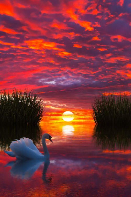 Swan of beauty, swan of grace. A queen among her ancient race. She glides across the mirrored lake. No ripple does the surface break.  -The Swan, by Susa Morgan Black