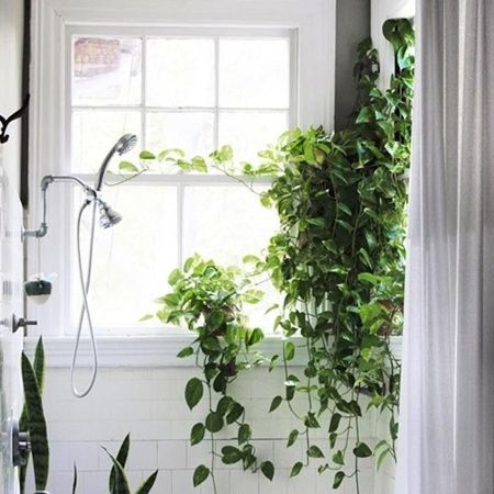 Philodendron cordatum is another common indoor plant and ...