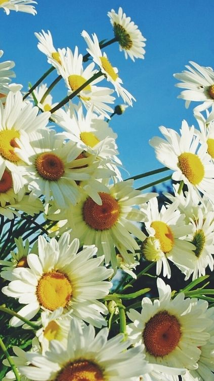Beautiful. Daisies!!                                                                                                                                                                                 Mais