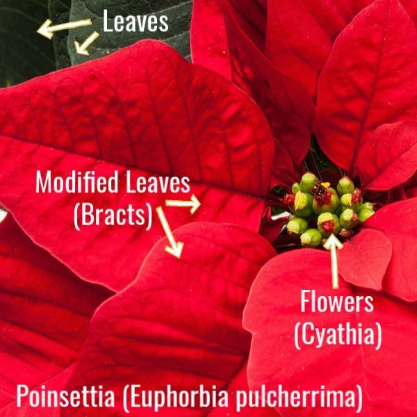 How To Make Poinsettia Bloom Year Round Care Tips Empress Of Dirt In 2020 Poinsettia Christmas Cactus Care House Plant Care
