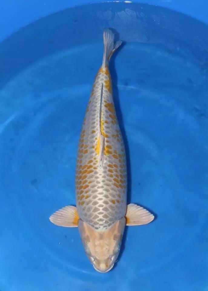 Kogane ochiba nisai 70cm ochiba koi pinterest for Ochiba koi fish