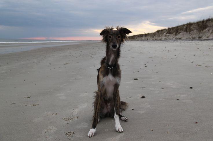 Stanley my Silken Windhound on Oak Island, NC.