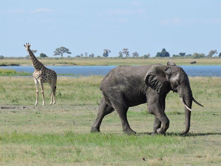 Elephants and Giraffe in the Chobe National Park, Botswana