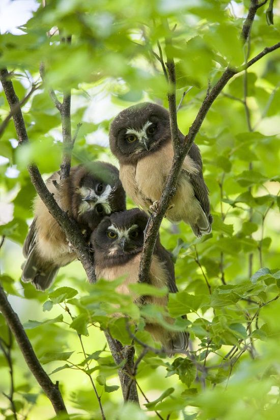 Triple Saw-whet Owls