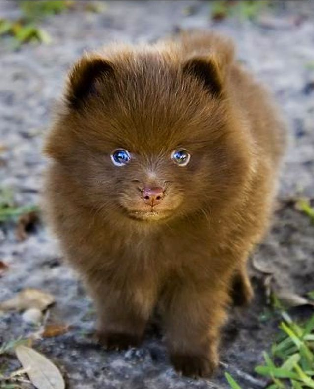 Looks Like A Little Bear Puppy Dog Pinterest Bears