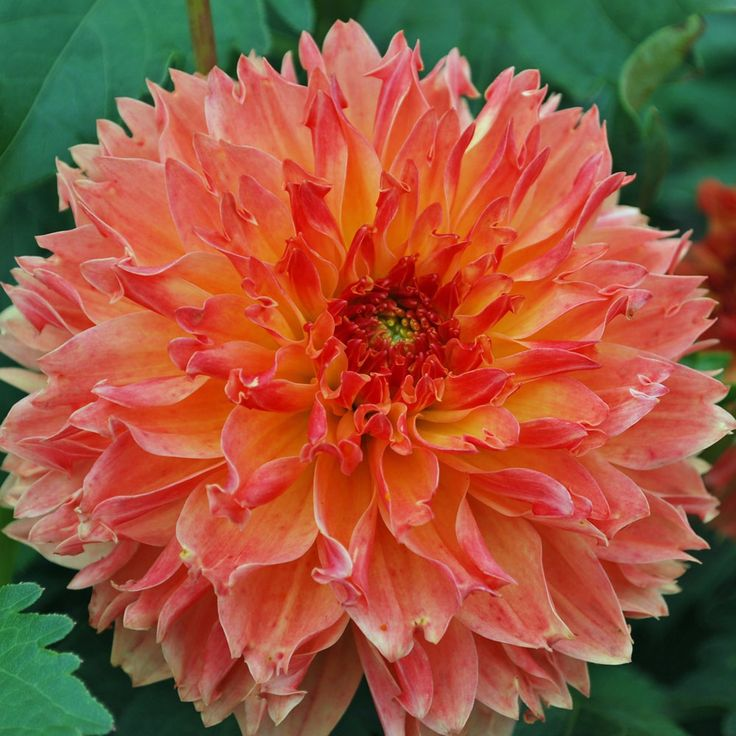 Dahlia Puerto Rico Rose Cottage Plants Dahlias