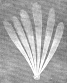 A sketch of the comet of 1744 showing an axial view, which gives the image of a fan-shaped tail. Source: Parker's Philosophy, 1871. Pinned by Gilbert de Jong.