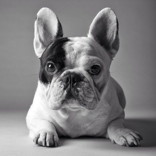 Bulldog Frances :), French Bulldog ❤️❤️