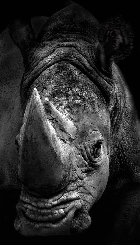 beautiful endangered rhino