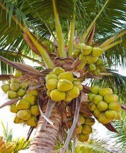 Honest-to-goodness-organic-coconut-oil-virgin-500ml
