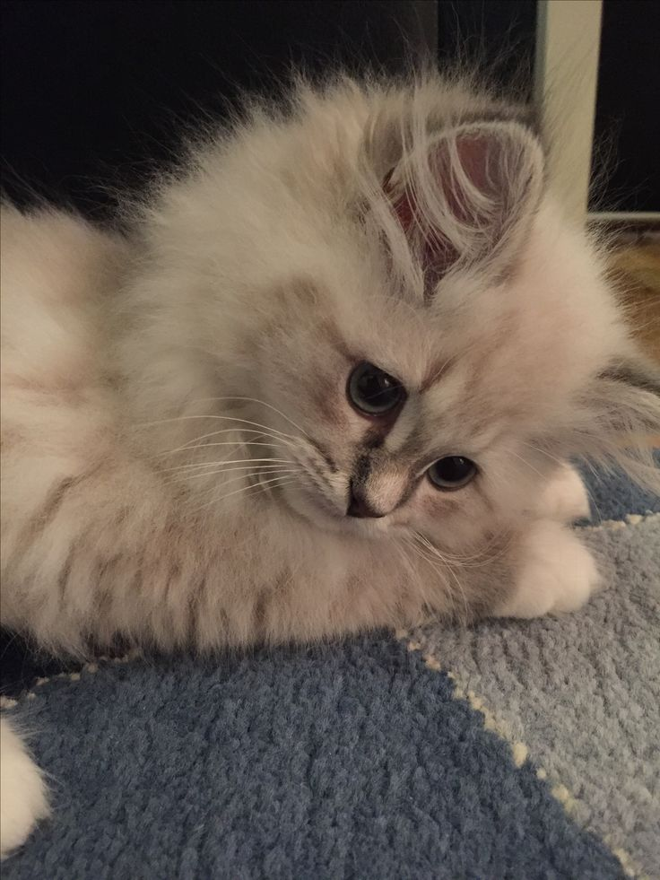 Siberian kitten Oh what a cutie.