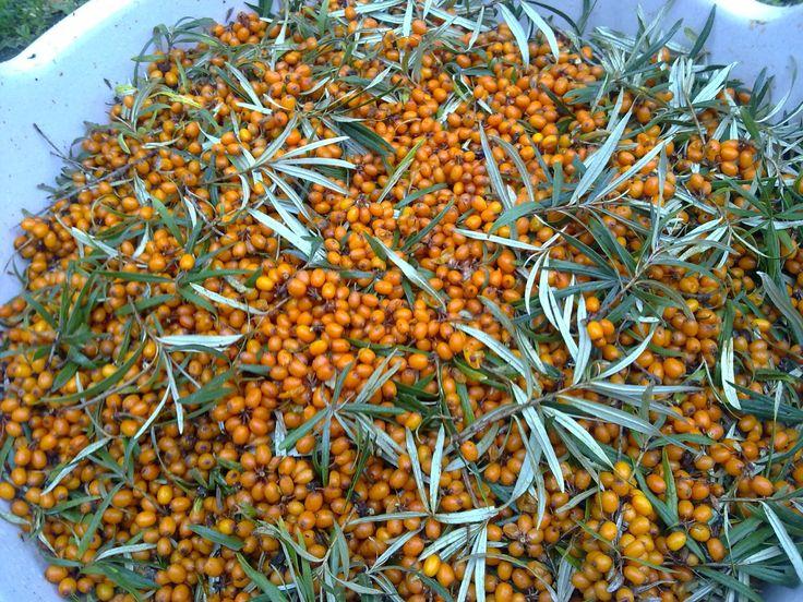 MIÉRT ÉPPEN HOMOKTÖVIS? A homoktövis napjainkban egyre népszerűbb a széleskörű gyógyhatásai miatt. Azonban érdemes tudni, hogy ez korábban sem volt másképp. Ugyanis évszázadokkal ezelőtt is alkalmazták a hagyományos gyógyításban, hiszen a növény egészét – a leveleit, a bogyóját, a virágját, a kisajtolt olaját – fel tudták használni a különféle betegségek enyhítésére, kezelésére. A homoktövis folyó