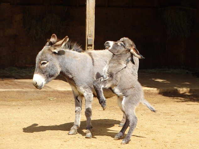 Then there¿s Annie, who¿s a heart-meltingingly adorable miniature donkey with hooves the size of my fingernails and a coat as soft as cashmere,…