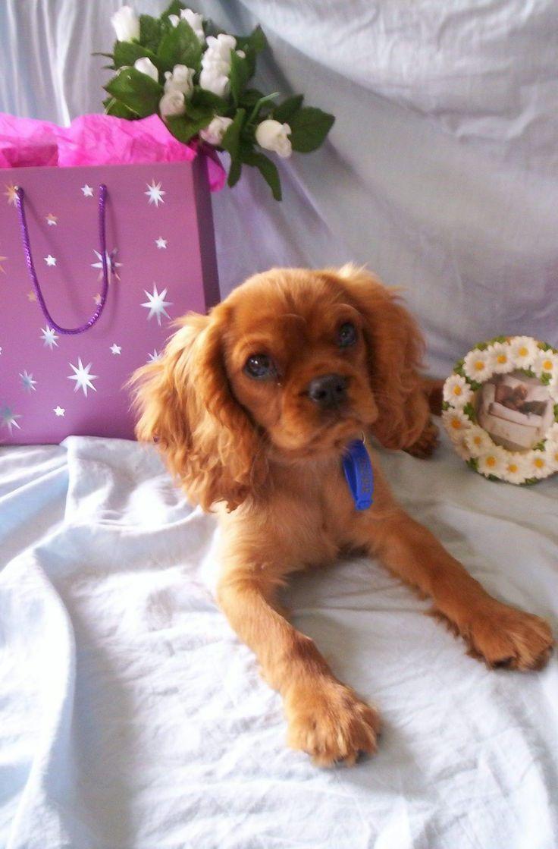 Sweet ruby cavalier baby | Cavalier King Charles Spaniels ...