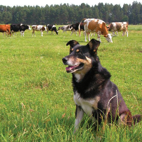 Best Farm Dog Breeds - Animals - GRIT Magazine