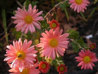 Fall Garden Mums.  Hardy or No?: Daisy Type Garden Mum
