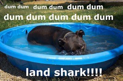 Love me some Pit Bulls!  ♥: Land Sharks, Dogs, Bullies Breeds, Candy Gram, Bull Education, Pit Bull, Beautiful Pitbull, Bull Rocks, Landshark