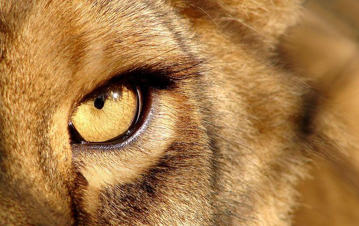 lion eye detail - Google Search | Aslan | Pinterest | Lion ...