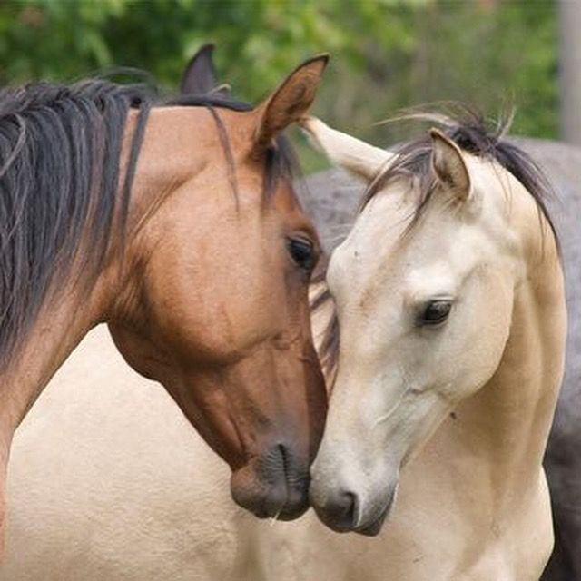 Pretty horses nuzzling. Precious expression caught on camera. They look like they are in love and about to kiss! Bay and Buckskin colored horses.