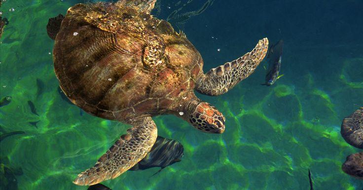 ¿Cuáles son los enemigos de las tortugas marinas?. Las tortugas marinas han vivido en nuestro planeta por más de 110 millones de años, pero hoy en día sólo quedan siete especies. Están divididas en dos grupos familiares. La primera familia incluye a las tortugas baula y la segunda incluye seis especies de tortugas de caparazón duro. Las tortugas marinas pasan casi toda su vida en el mar, excepto ...
