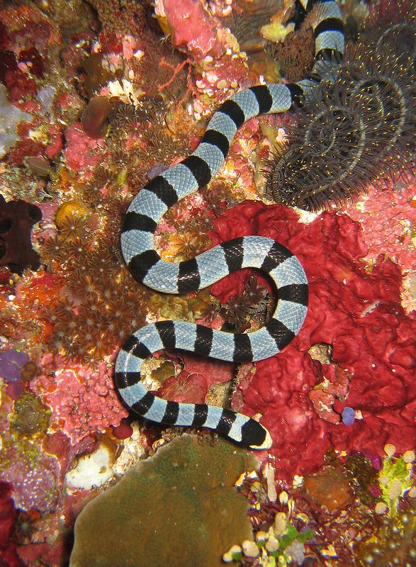 Banded Sea Snake (Laticauda colubrina)