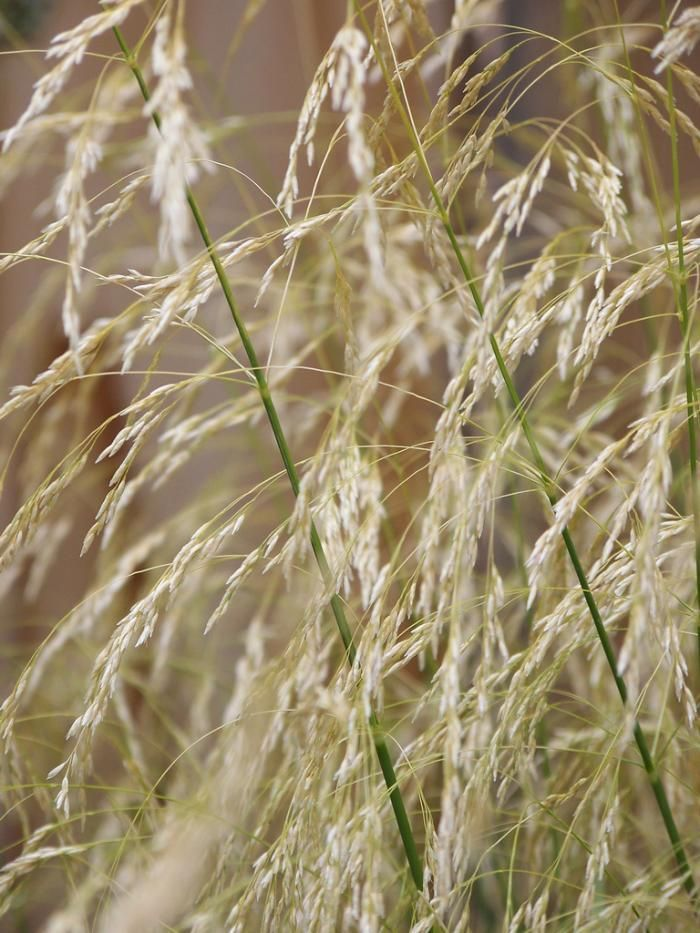 55 best images about karl foerster in my garden on for Tall feather grass