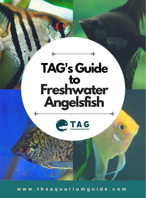 freshwater angelfish care and breeding guide fish and fish tanks