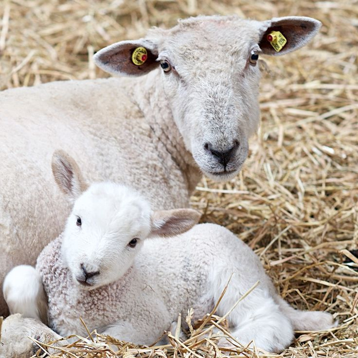Feeding cholesterol to sheep