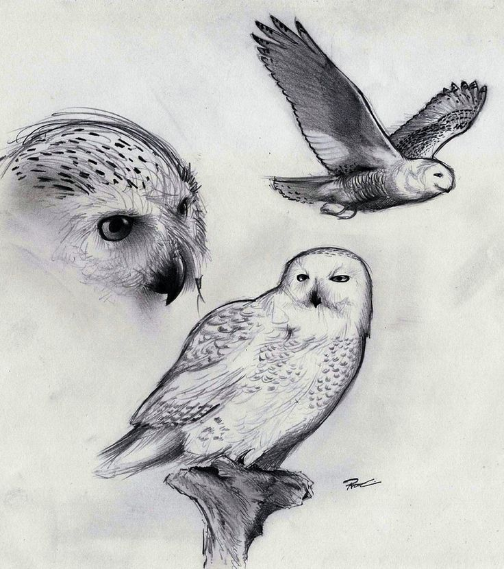 snowy owl by on deviantart traditional art pinterest snowy. Black Bedroom Furniture Sets. Home Design Ideas