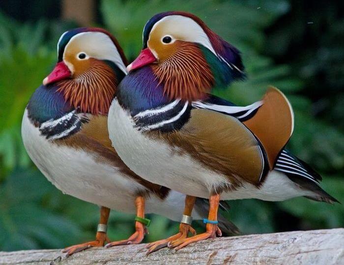 البط الماندرين اجمل صور بط الماندرين في 2014 Mandarin Duck Duck Species Pet Birds