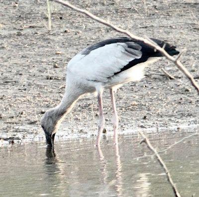 MOUNT ABU BIRDS  MY PERSONAL COLLECTION: Photo Gallery Birds of Mori Bera 17 Dec 2017  moun...