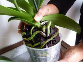 Racines d'orchidée                                                                                                                                                                                 Plus
