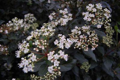 Sedum spectabile, chèvrefeuille, heuchères, buis, Viburnum tinus : 5 plantes indestructibles à avoir dans son jardin - Côté Maison
