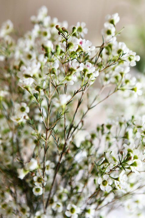 Love delicate white waxflower and it has a great lemony fragrance