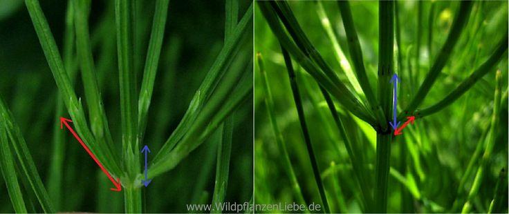 Vergleich der Sproßverzweigungen bei Equisetum arvense (links) und Equisetum palustre (rechts): Die Länge des Seitenastes ersten Internodiums (roter Pfeil) im Vergleich zur zugehörigen Blattscheide am Hauptstengel gibt ein zuverlässiges Unterscheidungsmerkmal der beiden Arten.