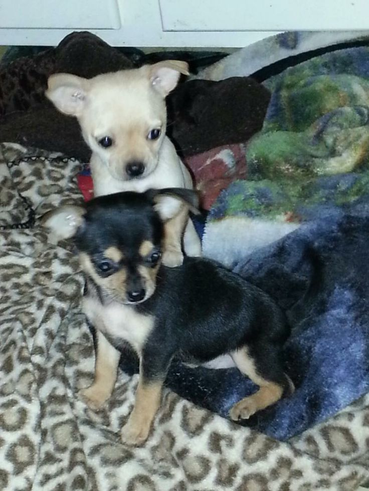1000 Images About Yorkie Amp Chihuahua Mixed Puppies On