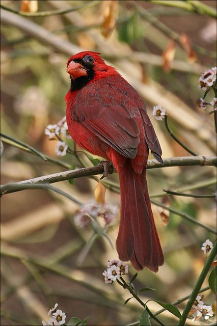 ~~Male Northern Cardinal by Foto Martien~~