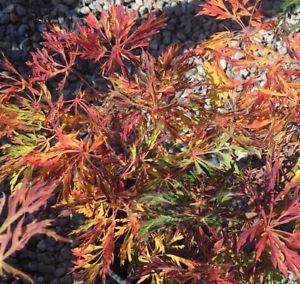 Dwarf Weeping Japanese Maple Fairy Lights Pre Bonsai Tree Thick Trunk Nebari