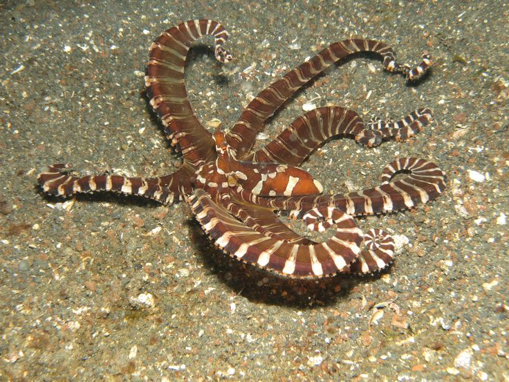 De wonderpuss, een bijzondere inktvis die andere diersoorten imiteert. Rondreis - Vakantie - Duiksafari - Duiken - Scubadive Holiday - Indonesië - Noord-Sulawesi - Lembeh Strait - Wonderpuss - Original Asia