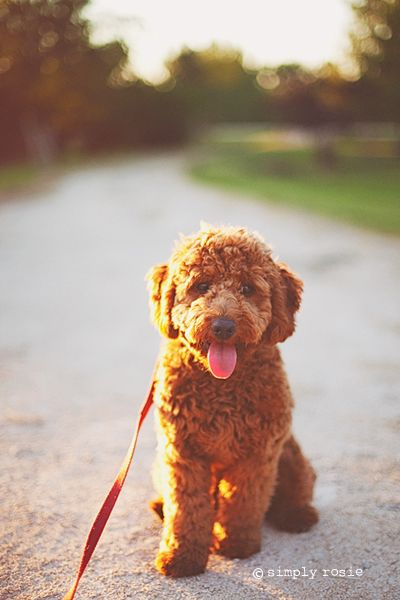 © simply rosie photography    Our micro mini goldendoodle at 6 months.