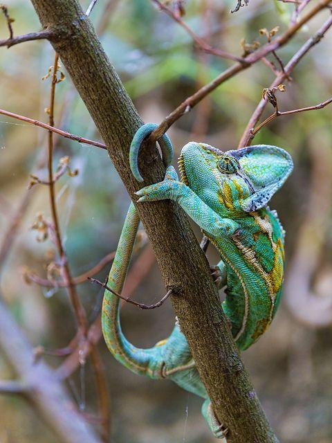 Caméléon couleur caraïbes                                                       …