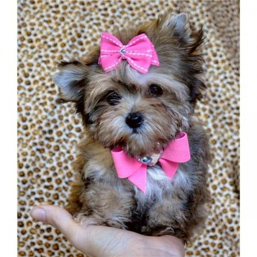 Teacup Morkie Puppy...sooo cute!!! ...........click here to find out more…