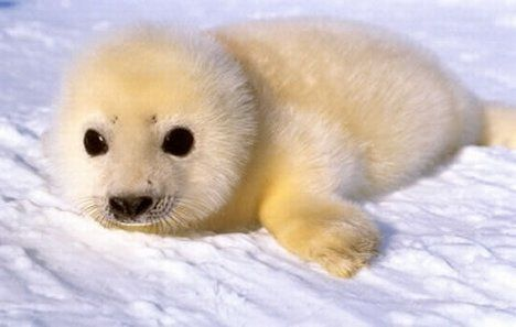 Baby harp seal:  Harp seals spend most of their time diving and swimming in the icy waters of the North Atlantic and Arctic Oceans. These sleek swimmers often hunt for fish and crustaceans at 300 feet (90 meters) and may dive to nearly 1,000 feet (300 meters). They are able to remain submerged for up to 15 minutes.