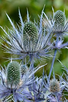 SEA HOLLY -- Eryngium 'Sapphire Blue' Sea Holly, not thistle, but similar quite beautiful