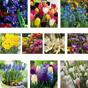 Give your patio or garden a lift with these beautiful spring flowering bulbs that are perfect for pots.  25 Freesia Refracta Alba 10 Dutch Iris Prof. Blaauw 25 Ranunculi Mixed 5 Hyacinth Mixed 10 Snowflakes 10 Spanish Blue Bells 10 Daffodil Yellow 10 Crocus Mixed%3...
