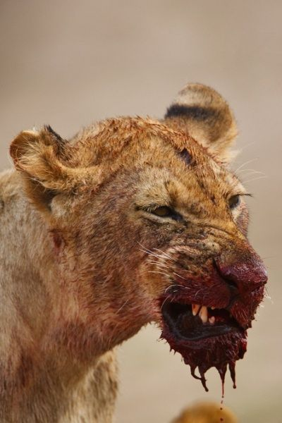 Female lions do the hunting...