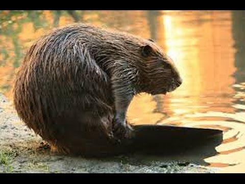 wk 14 The beaver (genus Castor) is a primarily nocturnal, large, semi-aquatic rodent. Castor includes two extant species, the North American beaver (Castor canaden...