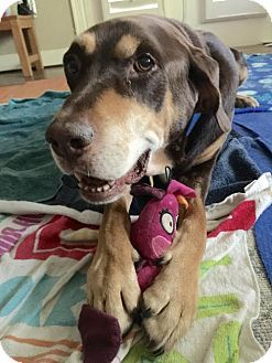 Pictures of Duke II a Labrador Retriever/Doberman Pinscher Mix for adoption in Dallas, TX who needs a loving home.