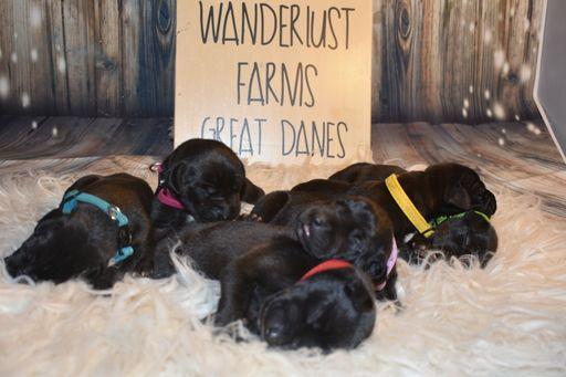 Litter Of 8 Great Dane Puppies For Sale In Mboro Tn Adn 95160 On